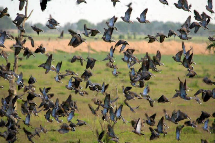 Top 3 Dove Hunting Tips