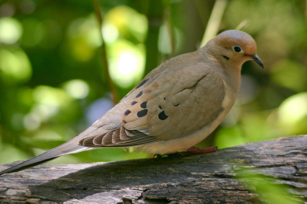 Airgun Dove Hunt Part_1